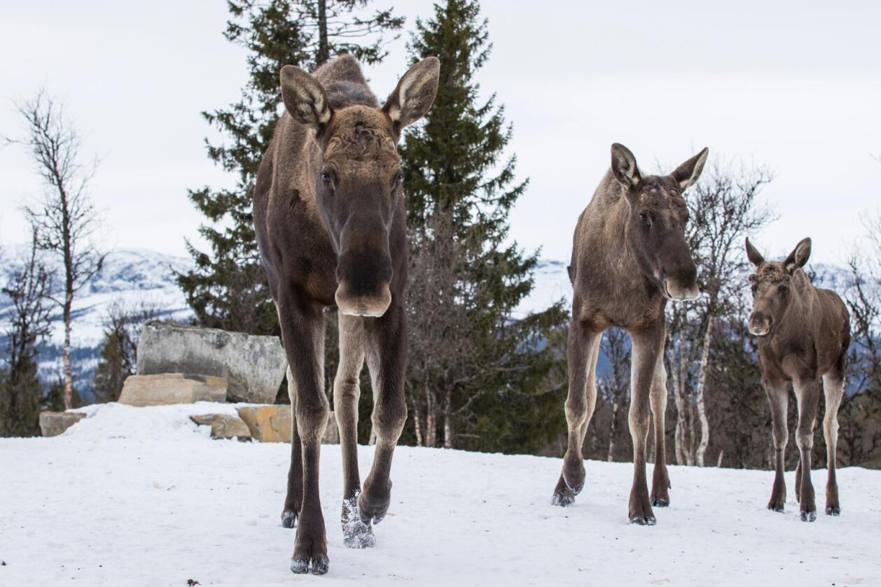 I jaktåret 2016/2017 ble det felt flest elg i Nord-Trøndelag. Det er første gang siden 60-tallet at det ikke er Hedmark som er på topp. Foto: Heiko Junge / NTB scanpix