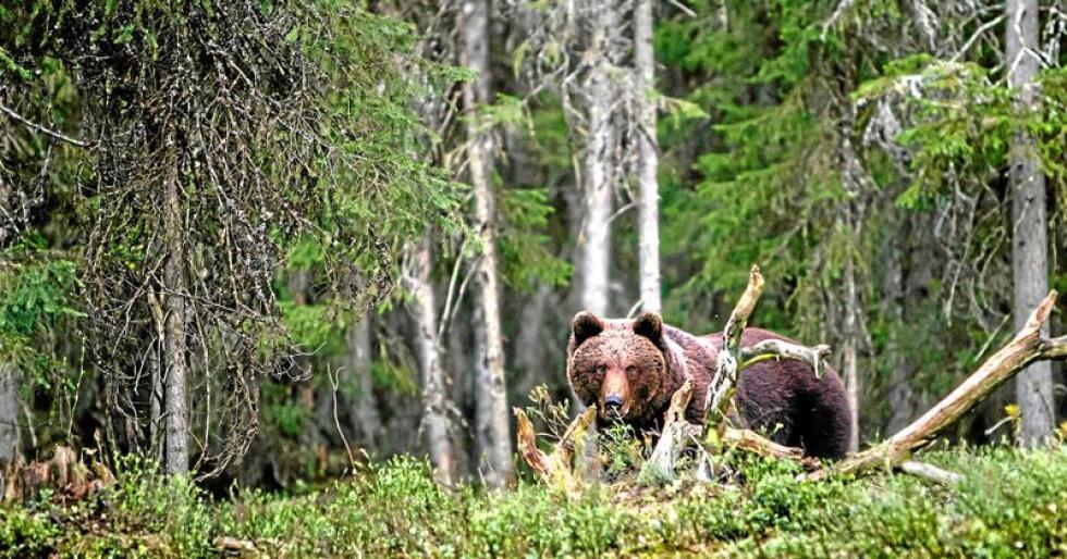 Spørsmålet om kvar yngleområda for bjørn skal vere, er eit av punkta om rovviltforvaltinga der nordlandske ordførarar er misnøgde med forvaltinga. Foto: Per Harald Olsen, NTNU