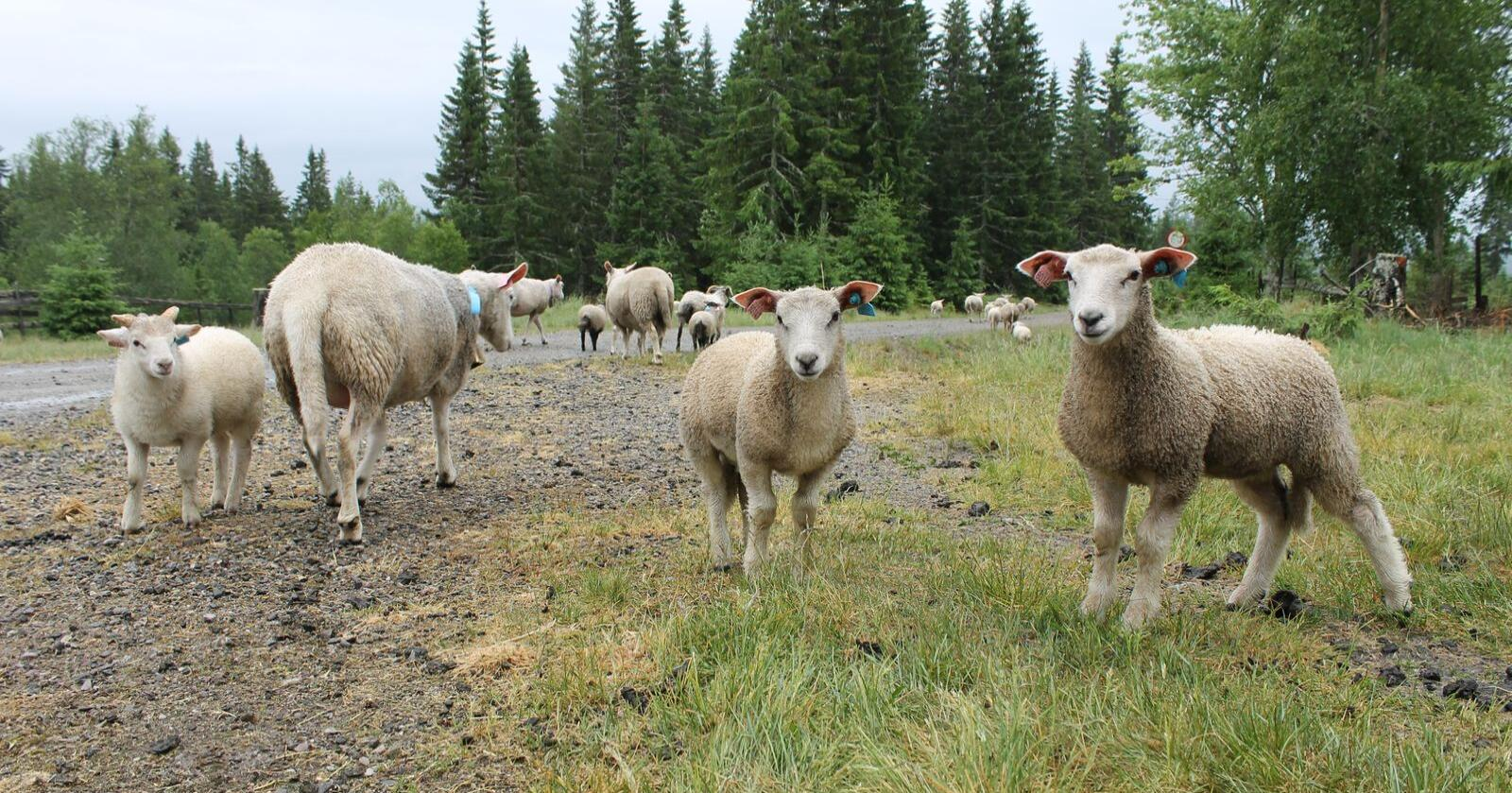 Hittil i år er antall registrerte rovviltskader på sau, redusert på 21 prosent sammenlignet med i fjor. Arkivfoto: Norsk Landbruk