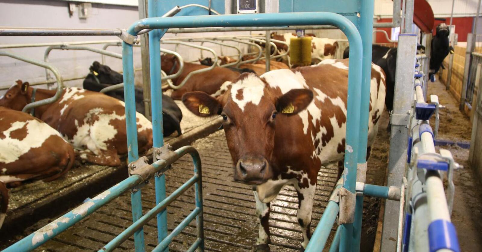Regjeringa vil ha på plass ei investeringsordning for mjølkebruk. Dei vil også redusere kvotetaket for kumjølk ned til 500 000 liter og innføre tak på tilskot i all produksjon. (Foto: Karl Erik Berge)