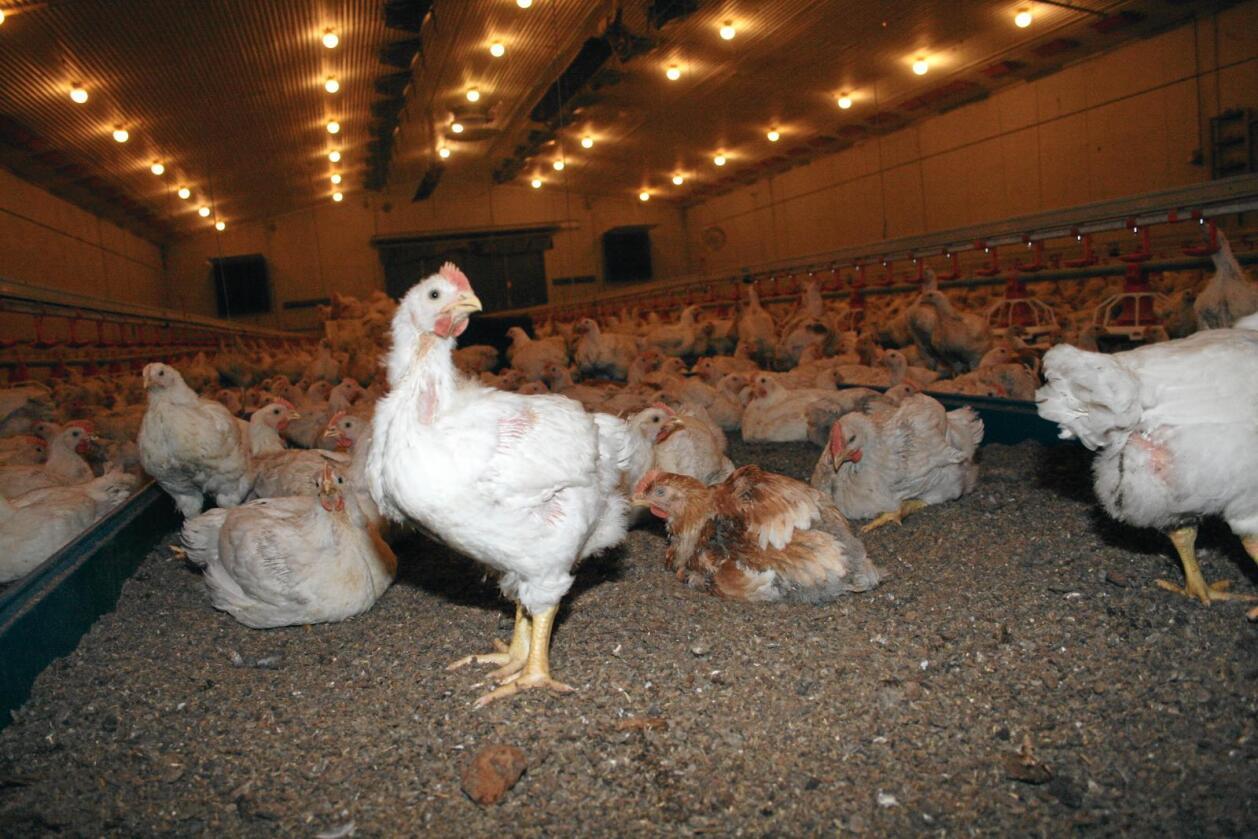 Førebygging: Norske kyllingbønder og næringa gjennomfører tiltak for å førebygge smitte frå bakterien campylobacter, noko som har stor samfunnsverdi ifølgje ein rapport. Foto: Bjarne Bekkeheien Aase