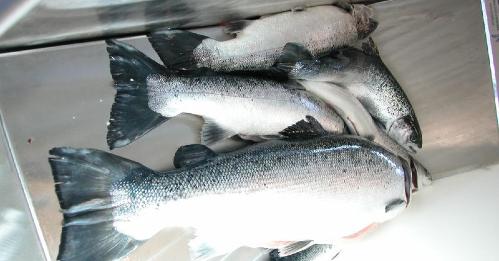 Fiskeriminister Harald Tom Nesvik (Frp) vil invitere aktørene til et møte så snart de har fått «hodet over vannet». Han vil ikke svare på om det er aktuelt å gi økonomisk drahjelp. (Illustrasjonsfoto)