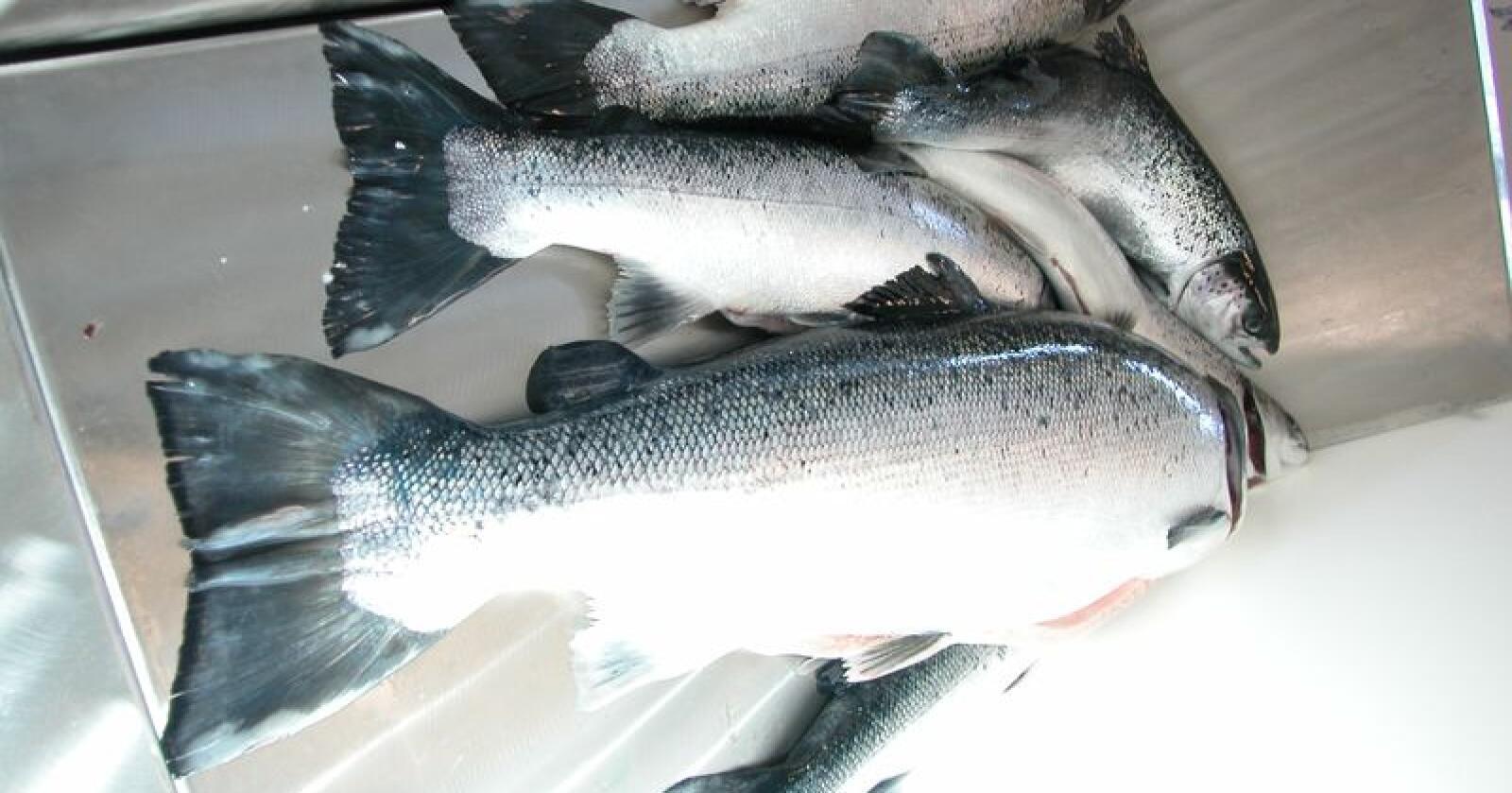 Det ble klassifisert totalt 0,5 prosent oppdrett i det analyserte materialet for hele sportsfiskesesongen 2018. (Arkivfoto)