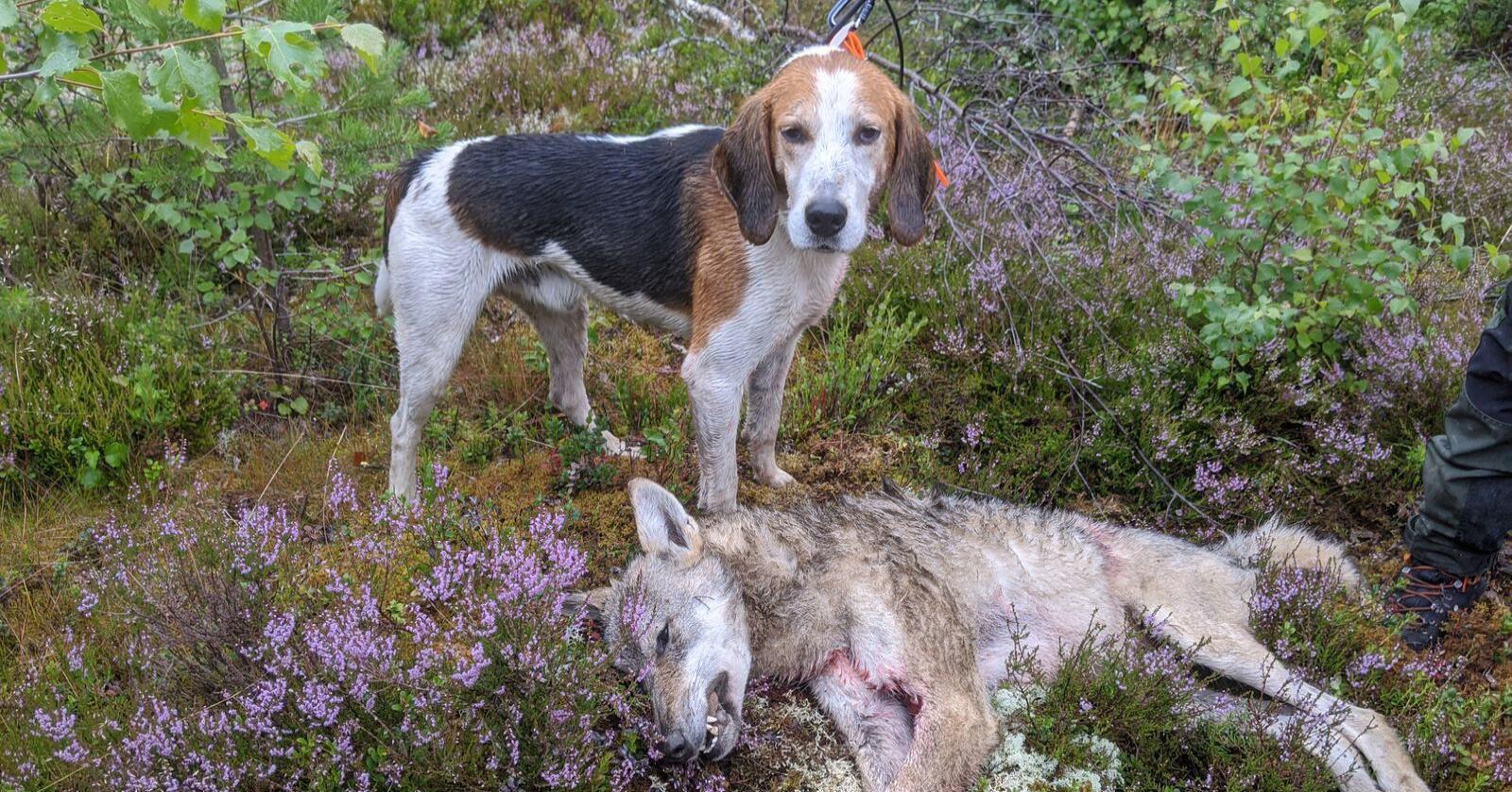 Hund under jakt: Denne ulven ble felt i sommer, og hunden på bildet deltok i jakta. Jegerne i Nord-Østerdal har svært gode erfaringer med «løs, på drevet halsende hund», men mener regelverket rundt bruken av dette virkemiddelet må forenkles. Foto: Skadefelingslaga i Nord Østerdal, RovNO