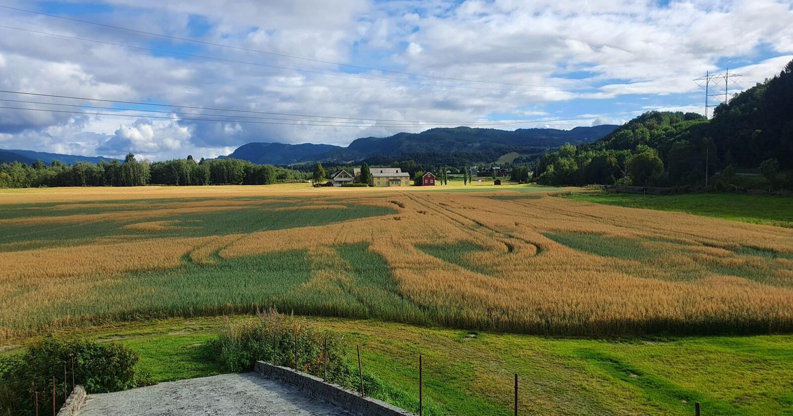 Etterrenning på åkrene i Trøndelag skaper problemer for kornprodusenter, men nå får de tillatelse fra Mattilsynet til å bruke Roundup Flex til å avslutte veksten.