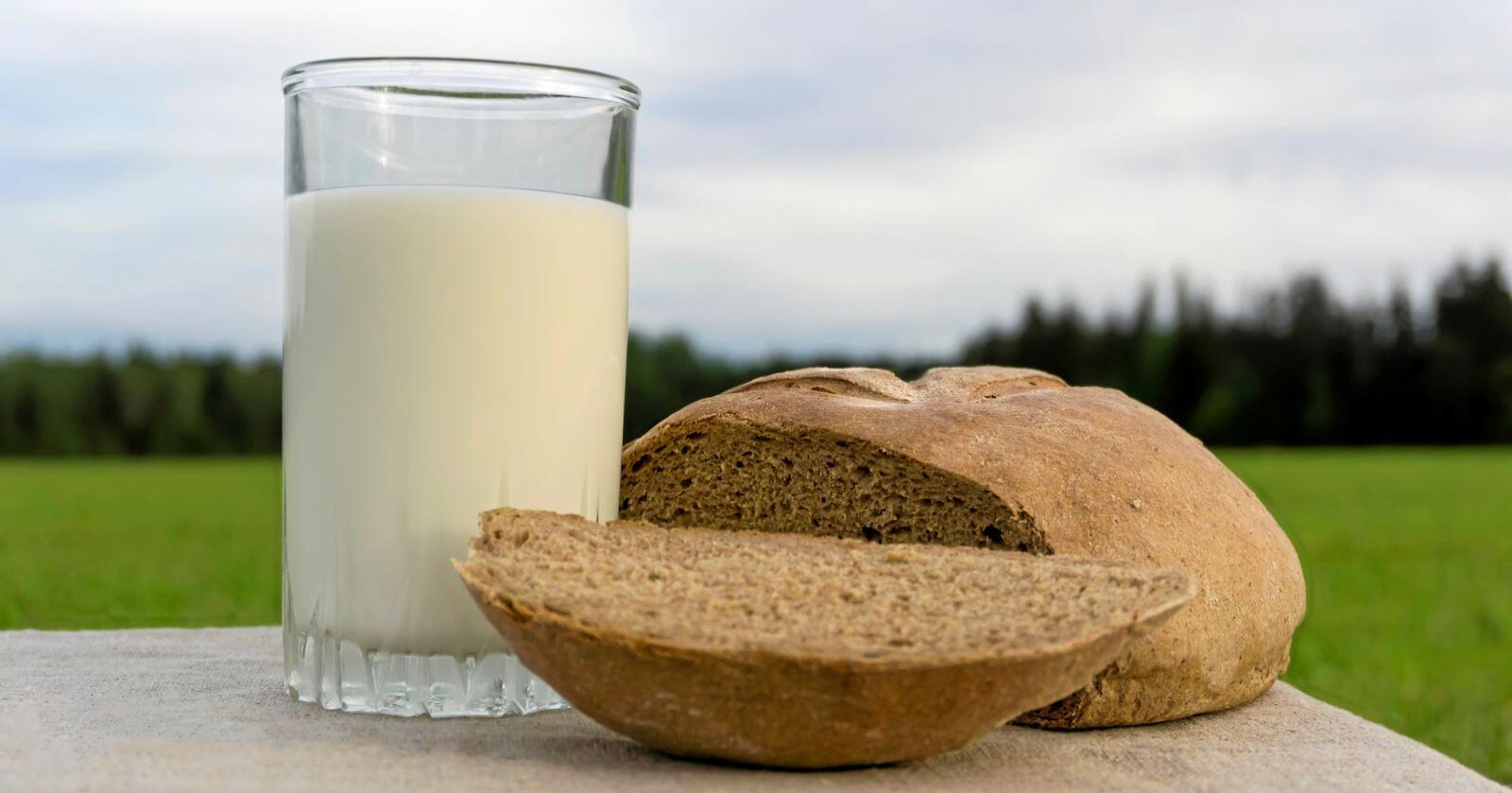 Skal Norge være selvforsynt i en krisesituasjon kan det bli behov for flere melkekyr, mens det bør være nok korn til befolkningen med dagens produksjon. Melk og korn er i dag de to viktigste kildene til energi i nordmenns kosthold  Foto: Mostphotos