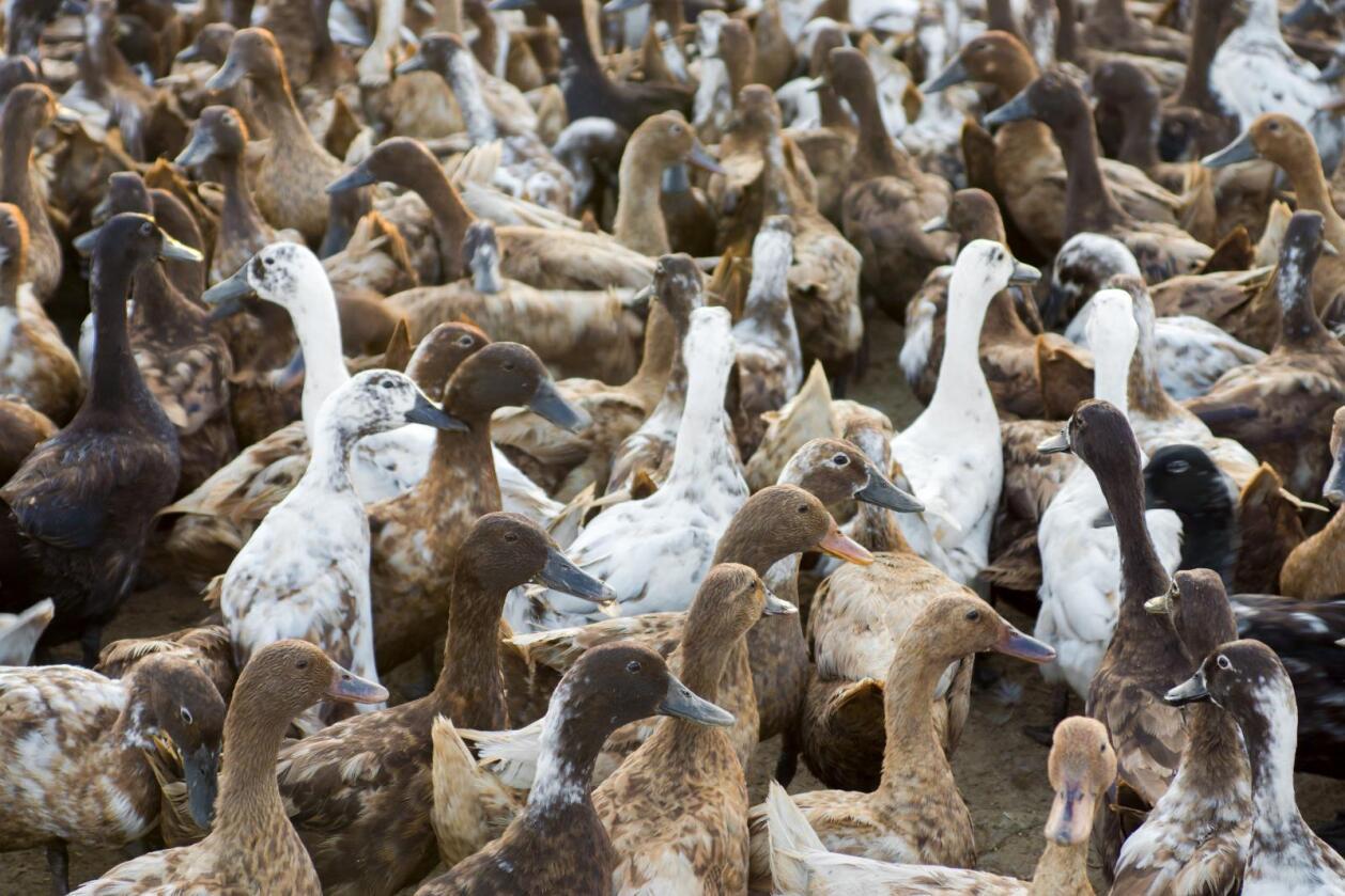 Fugleinfluensa: Det seneste utbruddet av fugleinfluensa resulterte i lukningen af flere av Danmarks eksportmarkeder for fjørkre. Samlet sett, forventes tapet å utgjøre om lag 5 til 10 millioner kroner per måned, melder Landbrug & Fødevarer. (Foto: Illustrasjonsbilde Bondebladet)
