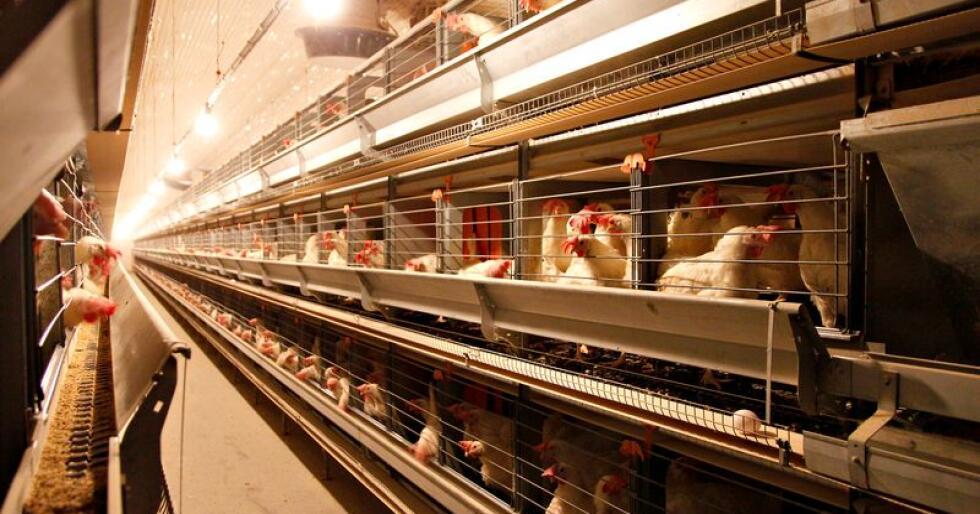 Danske eggprodusenter har lagt om fra innreda bur til økologisk produksjon, men det har gitt overproduksjon av øko-egg.
