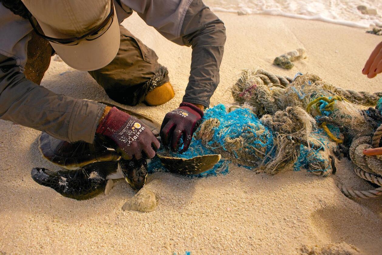 Fanga i garnet: Ei skjelpadde får hjelp til å koma seg ut av garnet den har vikla seg inn i. Foto: Eryn Opie / Hawaii Department of Lands and Natural Resources