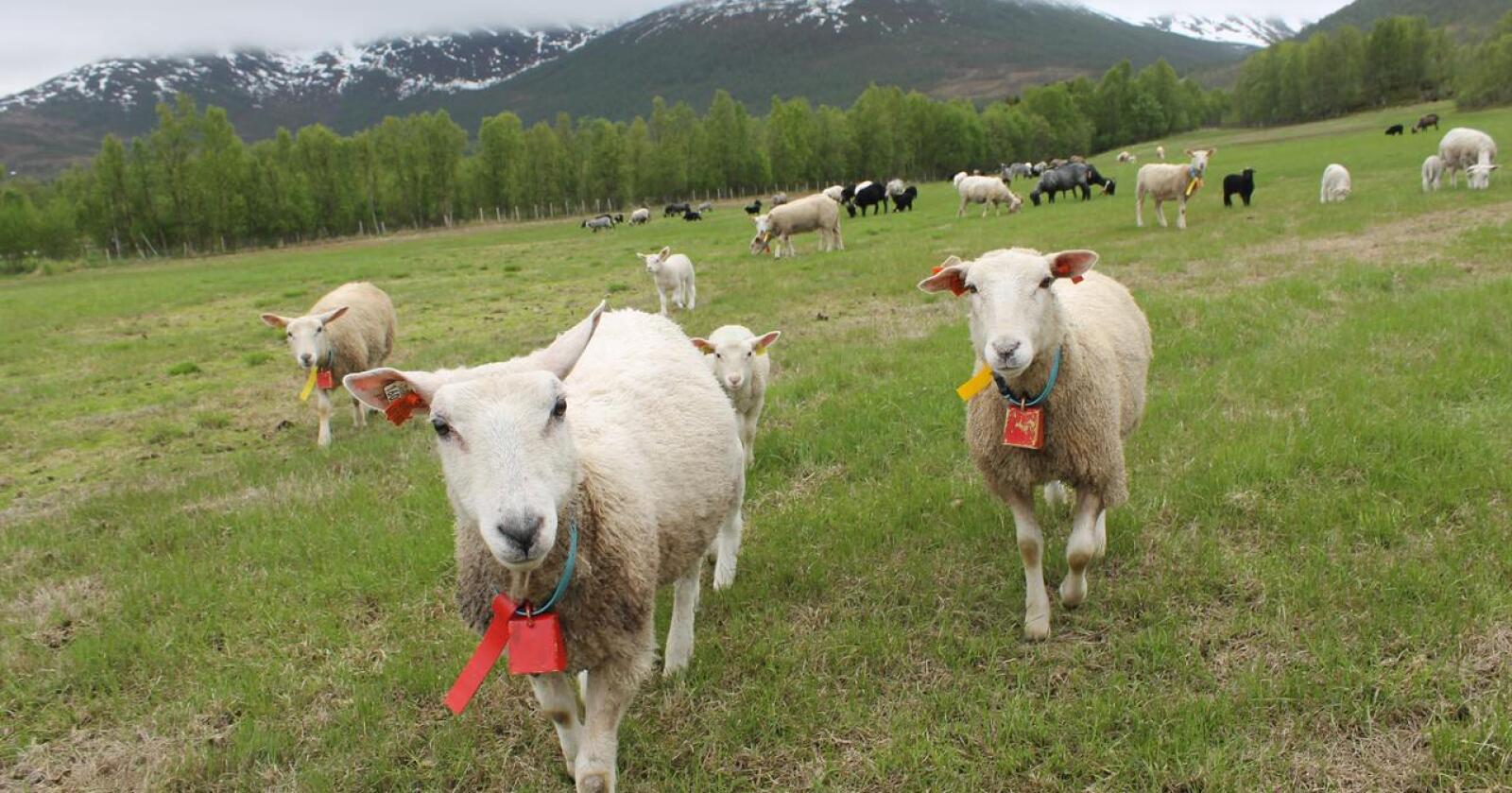 Venter færre dyr: I mars 2025 forventer sauebøndene i Troms og Finnmark totalt 29 900 søyer i det sammenslåtte fylket. Det vil være nesten en halvering fra dagens nivå. På bildet sees sau på beite i Goarahat i Porsanger kommune. Bildet er fra Balsfjord.  (Foto: Marit Glærum)