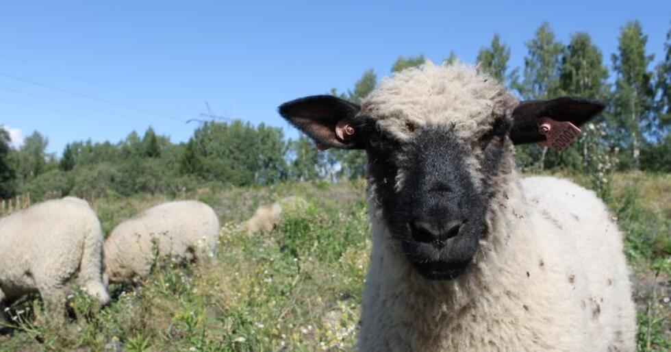 Fargemessig ligner shropshiresauen på suffolksauen, men den har mye mer ull i ansiktet. De skal ha ull i panna og på kjakene, og på kroppen skal ulla være tett. Foto: Marit Glærum.
