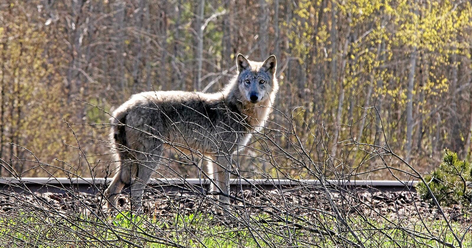 Mer av dette: Det var minst 409 norsk/svenske ulver i vinter. Forrige vinter var tallet 380. Foto: Allan Wallberg
