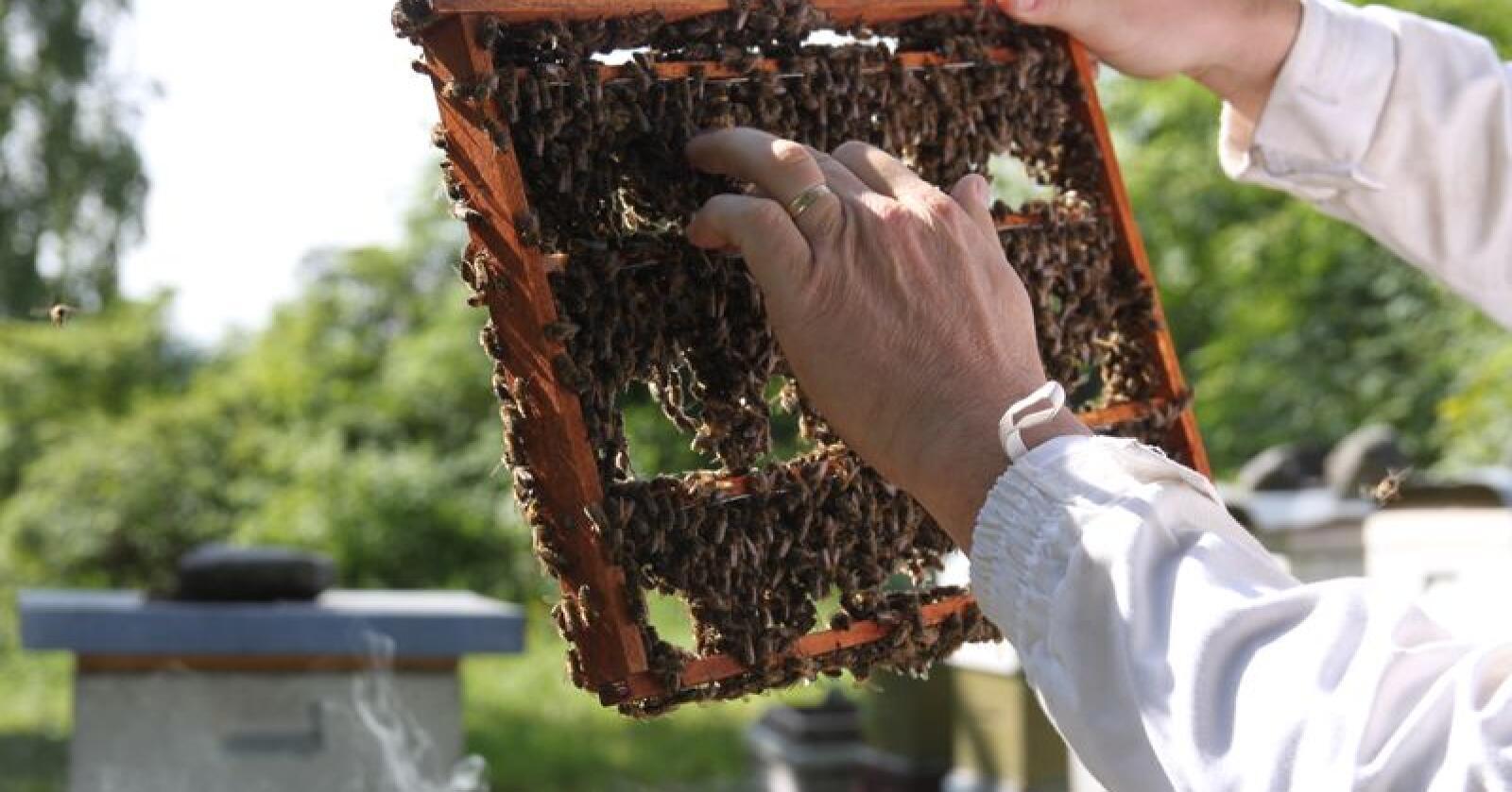 Norsk bihelse er i verdenstoppen. Næringa frykter helsetilstanden står i fare hvis utenlandske birøktere kan sende sine bier på lyngtrekk her. Foto: Dag Idar Jøssang.