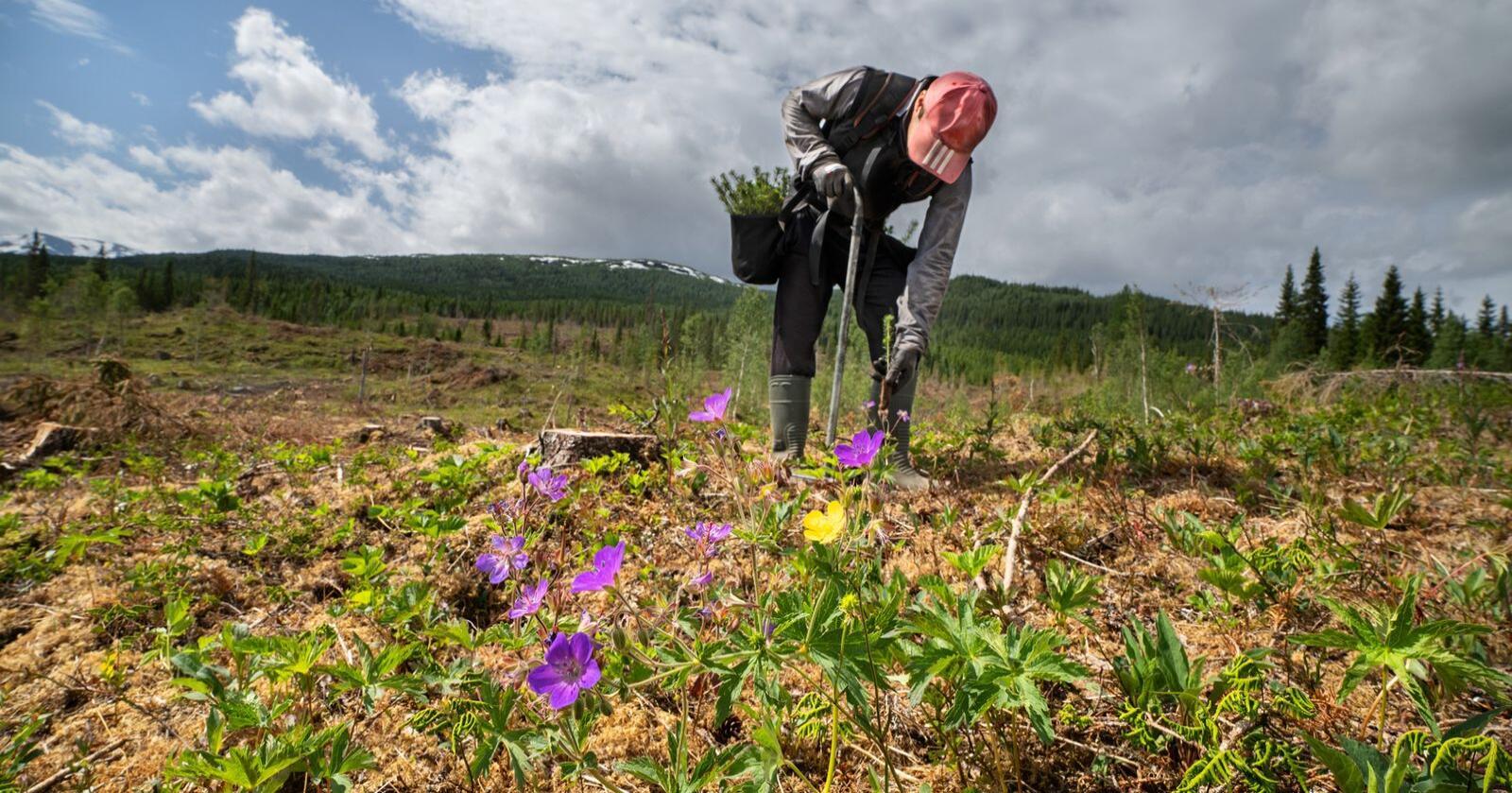 Stor aktivitet: Statskog satte 2,2 millioner planter i jorda i 2020. Bildet er fra Hattfjelldal. (Foto: Steinar Johansen)