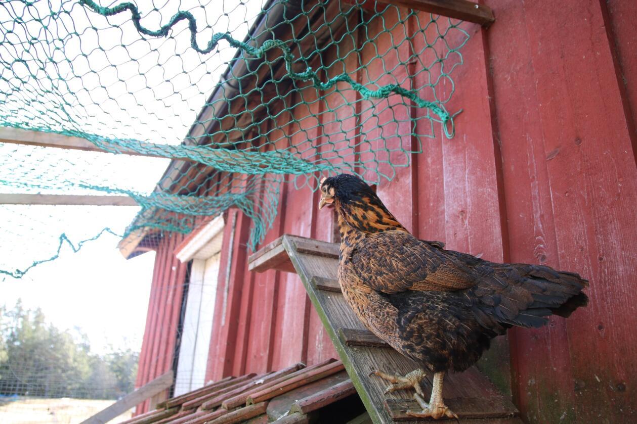 ULOVLIG: Mattilsynet har pålagt alle som har høner ute å ha et tett tak over hønsegården. Foto: Knut Houge