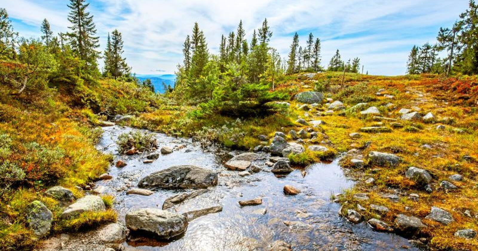 Bekker som denne, på Eggedalsfjellet i Sigdal kommune i Buskerud, er rødlistet som truet naturtype i Norge. Foto: Halvard Alvik / NTB scanpix