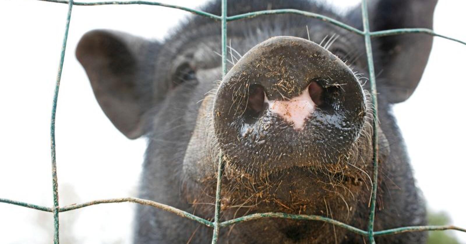 Svinepest kan spre seg fort og gjøre store skader på svinebesetninger. Illustrasjonsfoto: Emmanuelle Bonzami/Mostphotos
