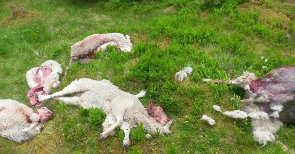 Bildet viser sauer drept av ulv i Eidsvoll sommeren 2015. (Foto: Hans Petter Klokkerengen, Statens naturoppsyn)