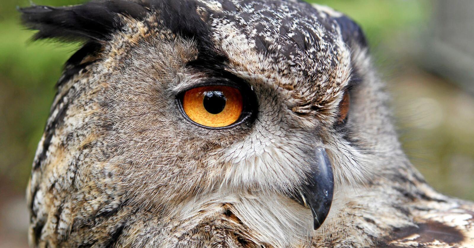 Hubro og snøugle er sterkt truet. Statskog Fjelltjenesten vil ha tips fra publikum om de ser disse artene i indre deler av Nordland. Her en hubro. Foto: Håkon Mosvold Larsen / NTB scanpix