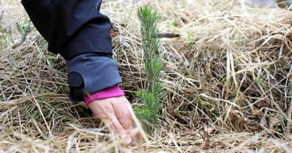 Her blir en av de mange granene plantet i Rogaland i 2015. Foto: Gerd Inger Aarnes