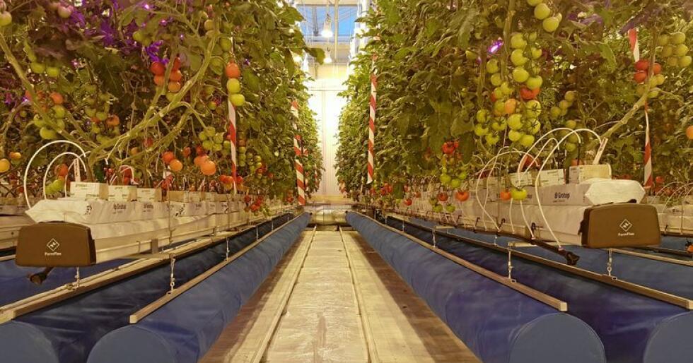 """Slik vil trolig fremtiden se ut for norske veksthusgartnere. I et lukket system med bruk av LED-belysning og """"vanlig"""" vekstlys. De blå rørene over bakken brukes til å blåse ut luft som er temperert og tilsatt CO2. Luften fanges opp igjen bak plastveggen i enden av planteradene. Tomatplantene vokser i potter i steinullmatter og får tilført næring gjennom dryppvanning i de hvite «spaghettislangene» som er stukket i hver potte. Foto: Michel Verheul, NIBIO"""