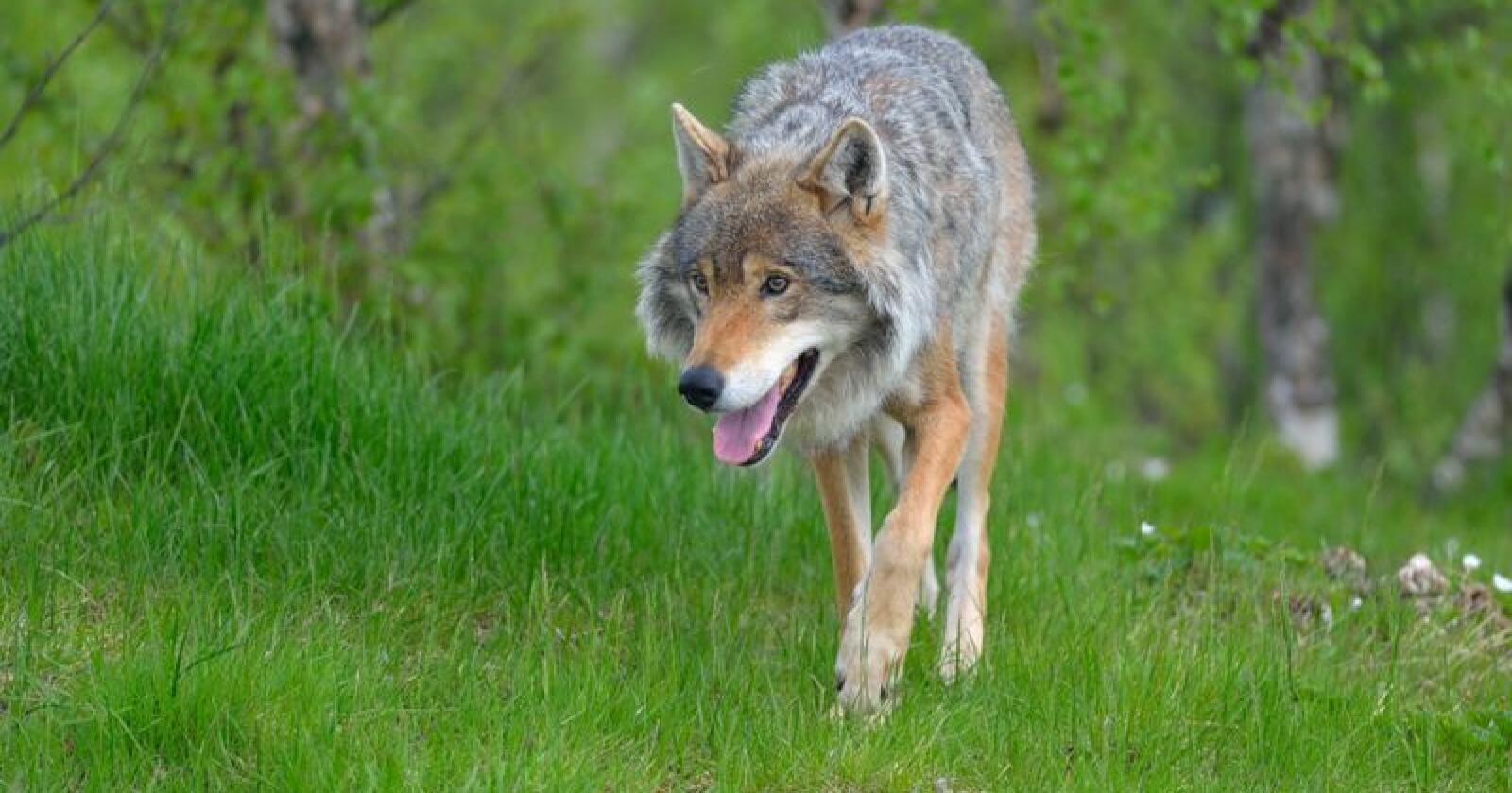 I vinterens overvåkingsperiode er det registrert 103-106 ulver i Norge, en nedgang på rundt 10 prosent fra 115-116 forrige vinter. Foto: Colourbox
