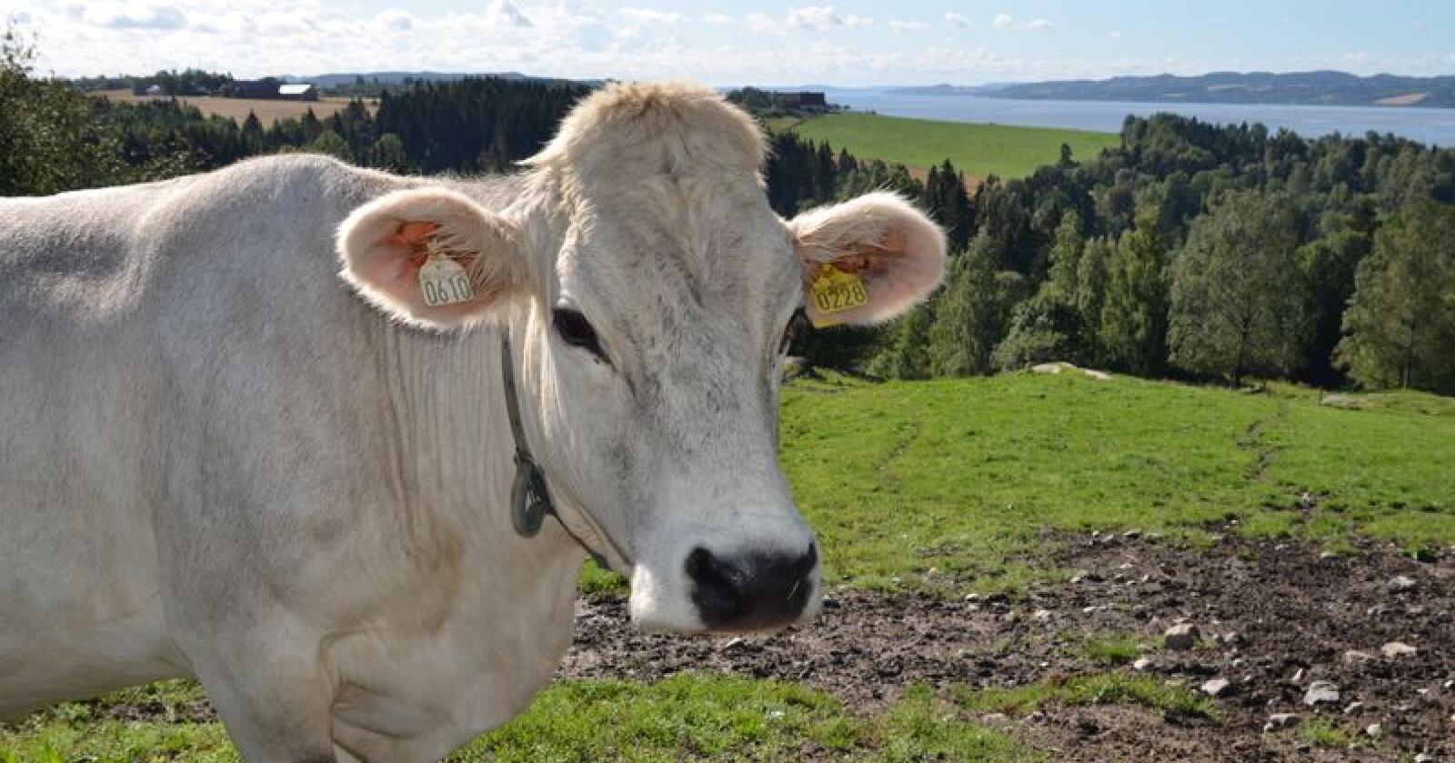 Tiroler-kua kan få samme status som de andre kjøttferasene. Det betyr at kua kan brukes som ammeku på melkebruket, og få samme kjøttfetilskudd som de andre kjøttferasene. Foto: Liv Jorunn Denstadli Sagmo