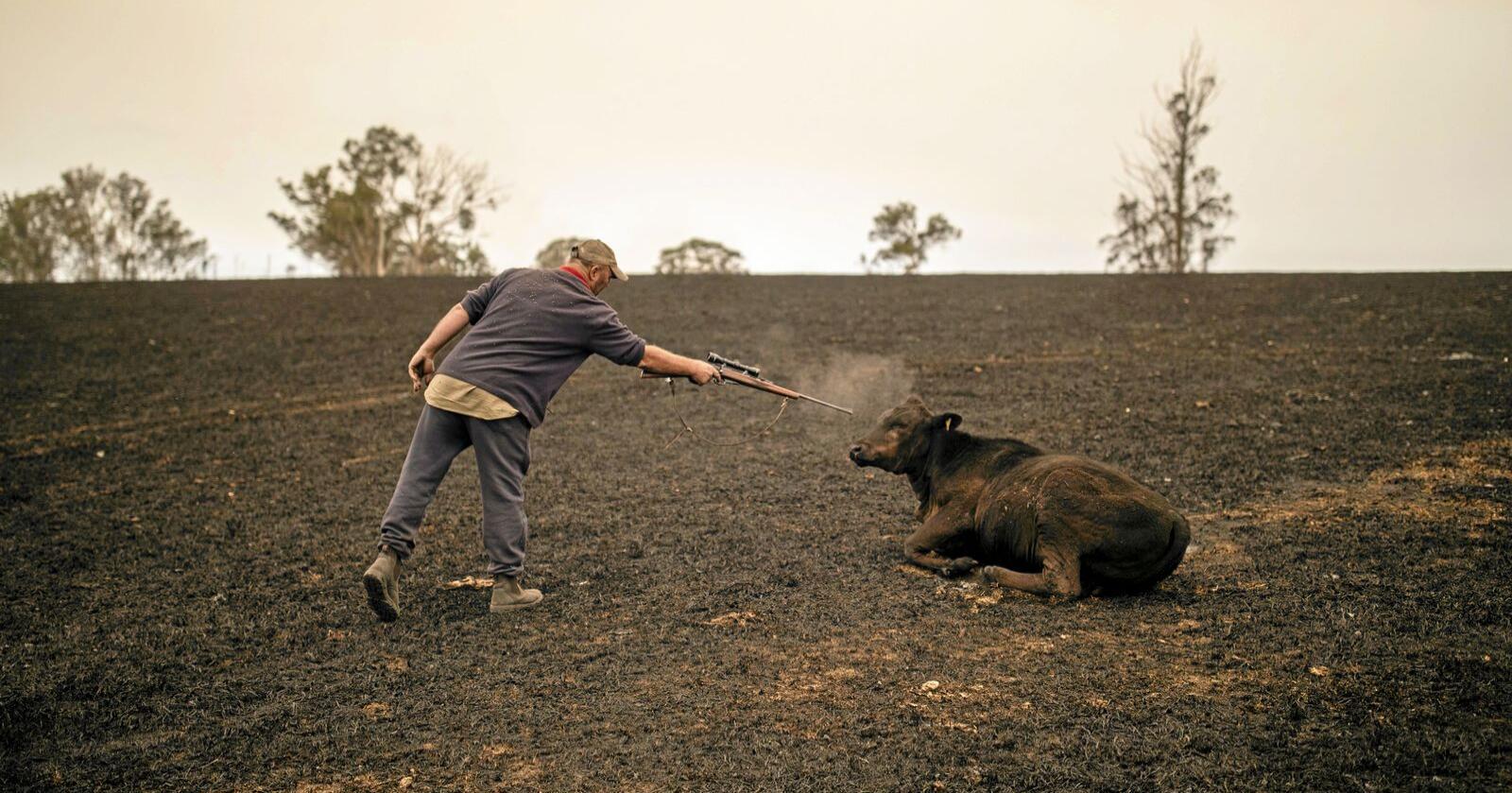 Melkebonde Steve Shipton måtte avlive flere av kyrne sine etter skogbrannene tok veien gjennom eiendommen hans. Foto: EPA/SEAN DAVEY