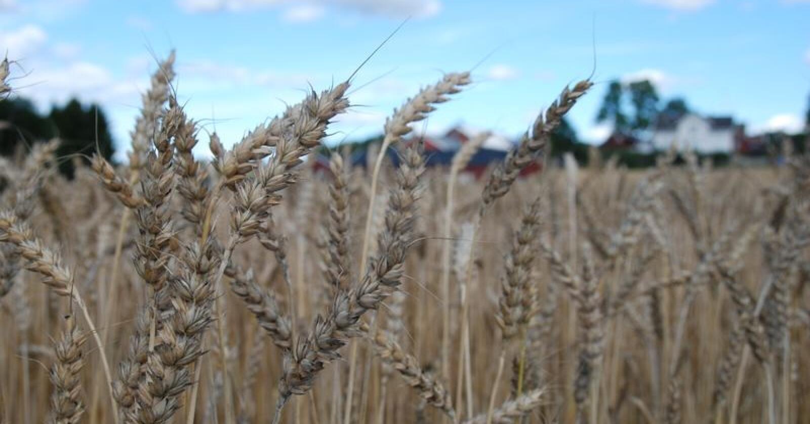Analysebyrå forventer et betydelig fall i europeisk hveteproduksjon i 2020. Bildet viser en hveteåker i Ås, Akershus. Foto: Karl Erik Berge