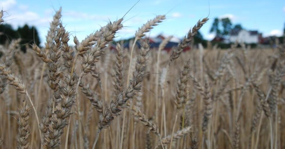 Prognosert tilgang til industrien pr. august byggjer på arealprognose og estimerte avlingar pr. dekar. Avlingstala er korrigert for korn som går til såkorn og leigemaling og andel matkorn for kveite og rug. (Foto: Karl Erik Berge)