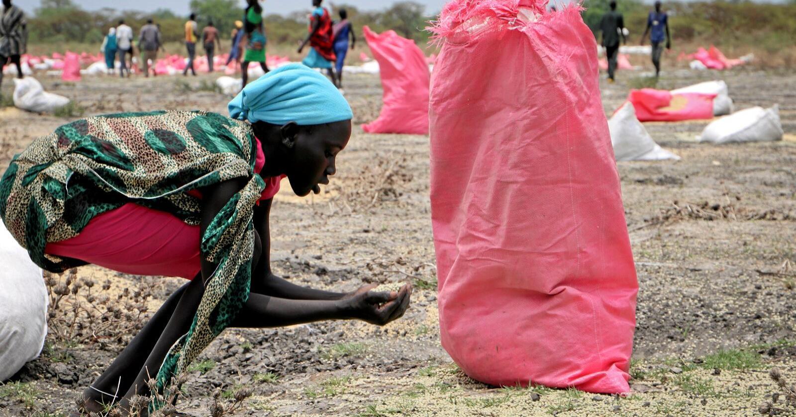 Mat: Sør-Sudan er hardt råka av krig og svolt. På biletet frå 2018 sopar ei kvinne opp sorghum frå bakken etter eit flydropp frå Verdas matprogram. Foto: Sam Mednick / AP / NTB scanpix