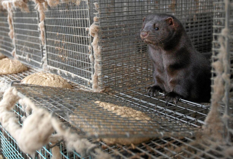 Må avvikles: Trange nettingbur gir ikke rom for naturlig adferd for pelsdyrene. Foto: Alf Ove Hansen / NTB scanpix