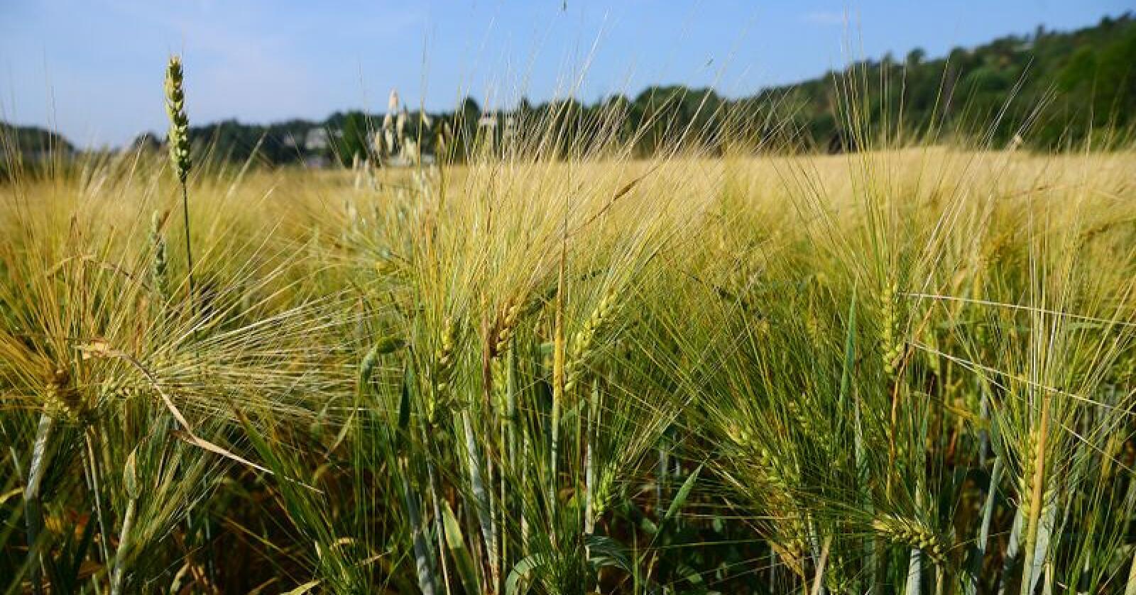 Tilgangen til korn er høgare i 2019 enn i tørkeåret 2018. Totalavlinga i 2019 er på 1.262.000 tonn, medan i 2018 var totalavlinga på under 690.000 tonn. Foto: Siri Juell Rasmussen