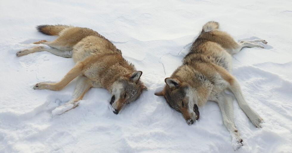 Årets ulvejakt er i gang. Her to ulver som ble skutt allerede før jul vest for Sølensjøen i Rendalen kommune. Foto: Statens Naturoppsyn / NTB scanpix