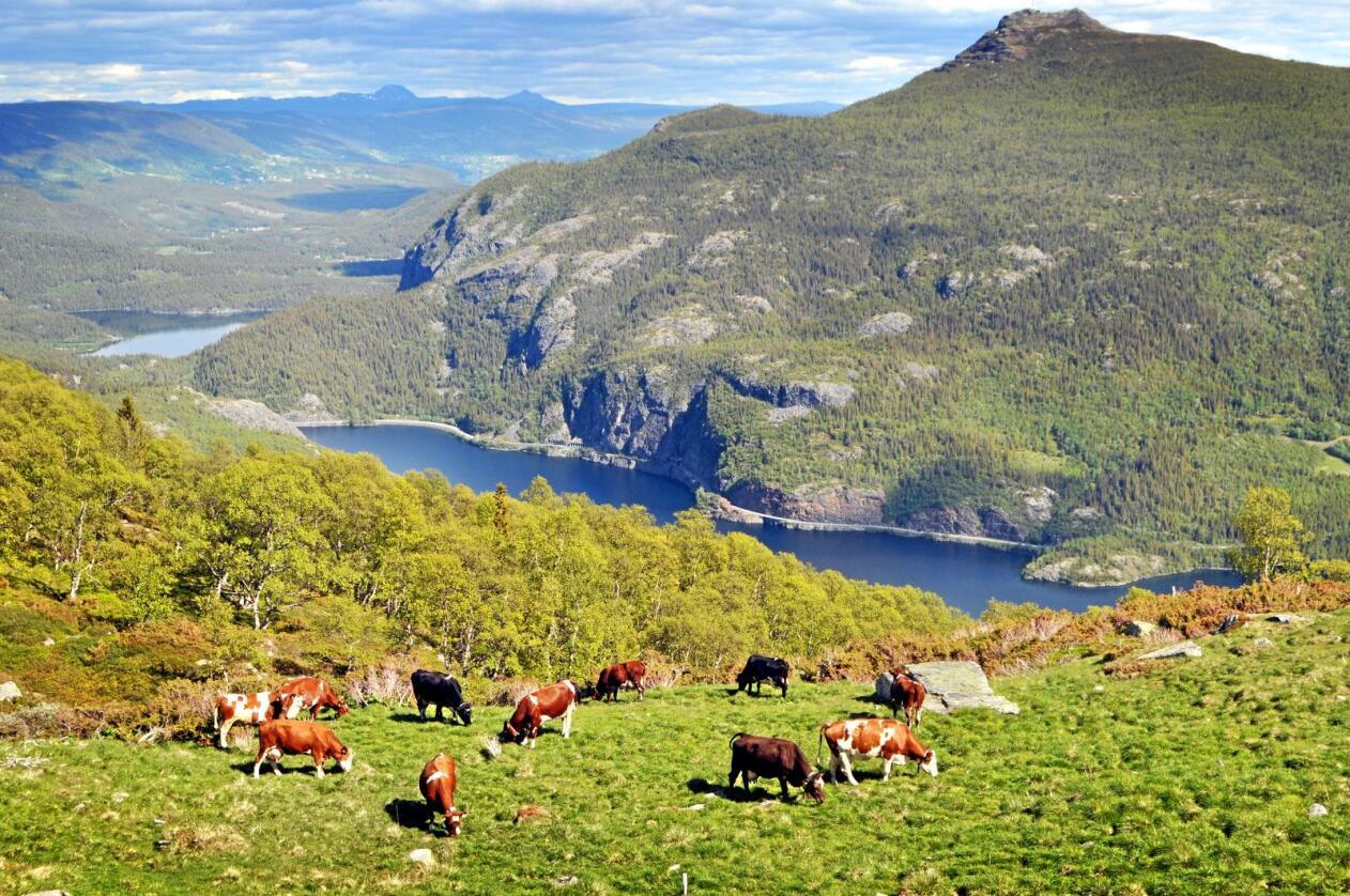 I det fri: Utegang i naturen kan redusere sykdom for kuene, skriver kronikkforfatteren. Foto: Hilde Lysengen Havro