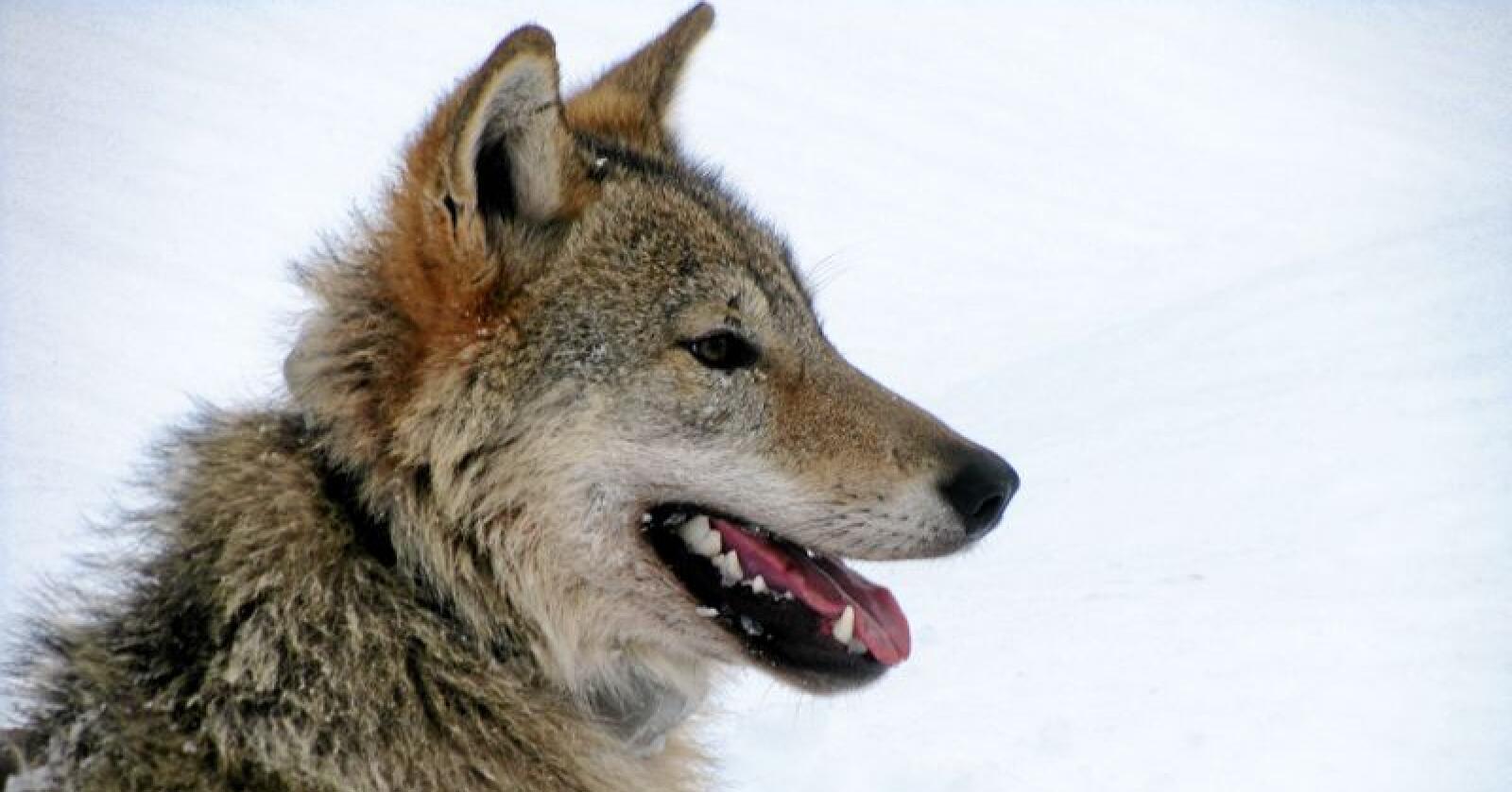 Det er ingenting som tilsier at ulvens tilbakekomst i Skandinavia har ført til noen «Yellowstone-effekt», ifølge forskere. Foto: Barbara Zimmermann