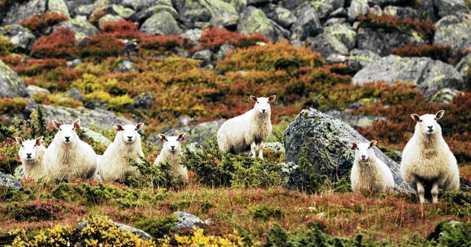 Soya-kraftfôr gjør norske sauer mer klimaeffektive på papiret, men det er ikke bærekraftig i lengden, skriver kronikkforfatteren. Foto: Kyrre Lien / NTB Scanpix