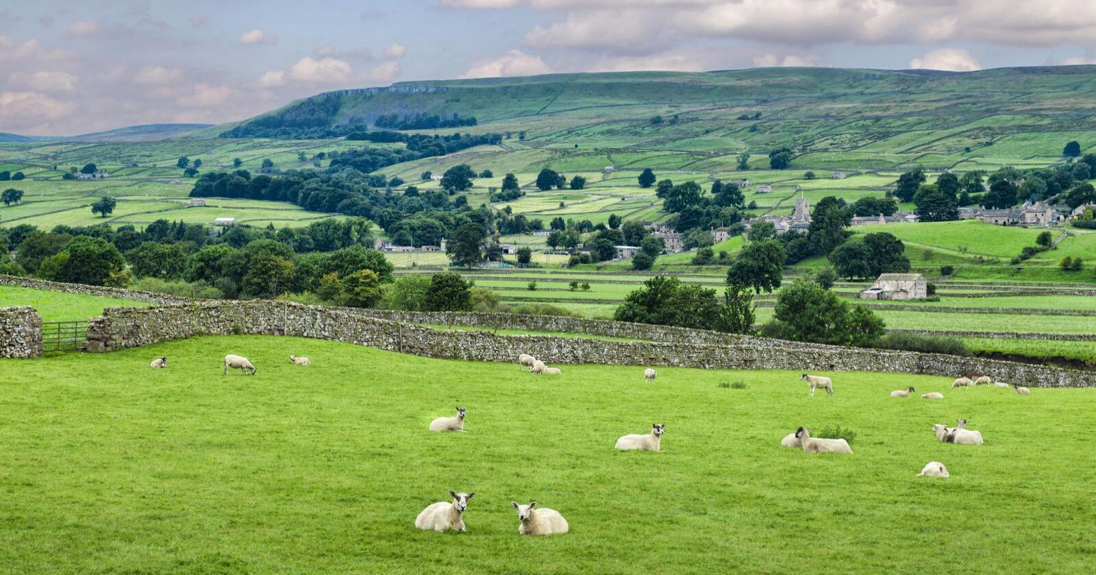 Britiske sauebønder produserer lammekjøtt enn noen andre i Europa, og eksporterer en betydelig del av det. Bondelaget frykter britene vil se til Norge, om de mister markedsadgang i EU. Dette bildet er fra Wensleydale i North Yorkshire. (Foto: Shutterstock)