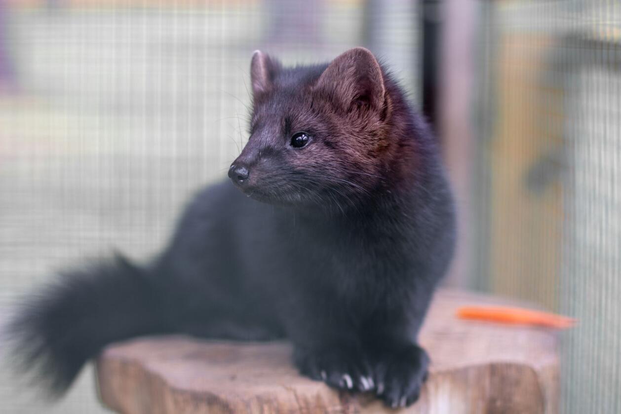 Seier: Avviklingen av pelsdyrnæringen, er utvilsomt en seier for dyrevelferden – rovdyr kan aldri få gode liv i nettingbur, skriver innsenderen. Foto: Mostphotos