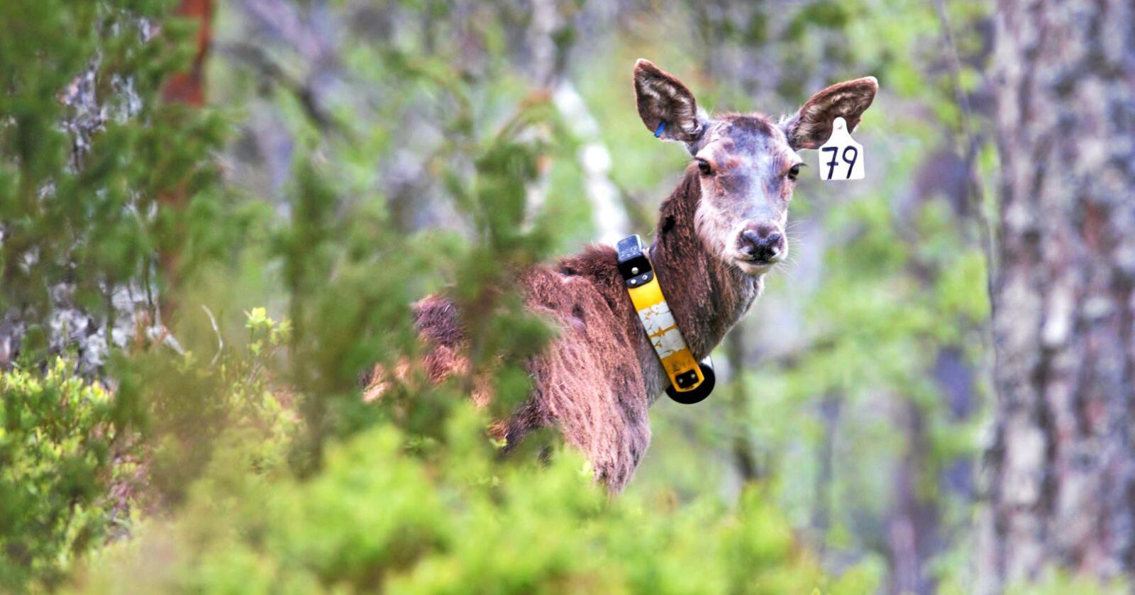 GPS-teknologi gjør det mulig å studere bevegelsene til de store hjortedyrene på et helt annet detaljnivå enn tidligere.Foto: Nibio