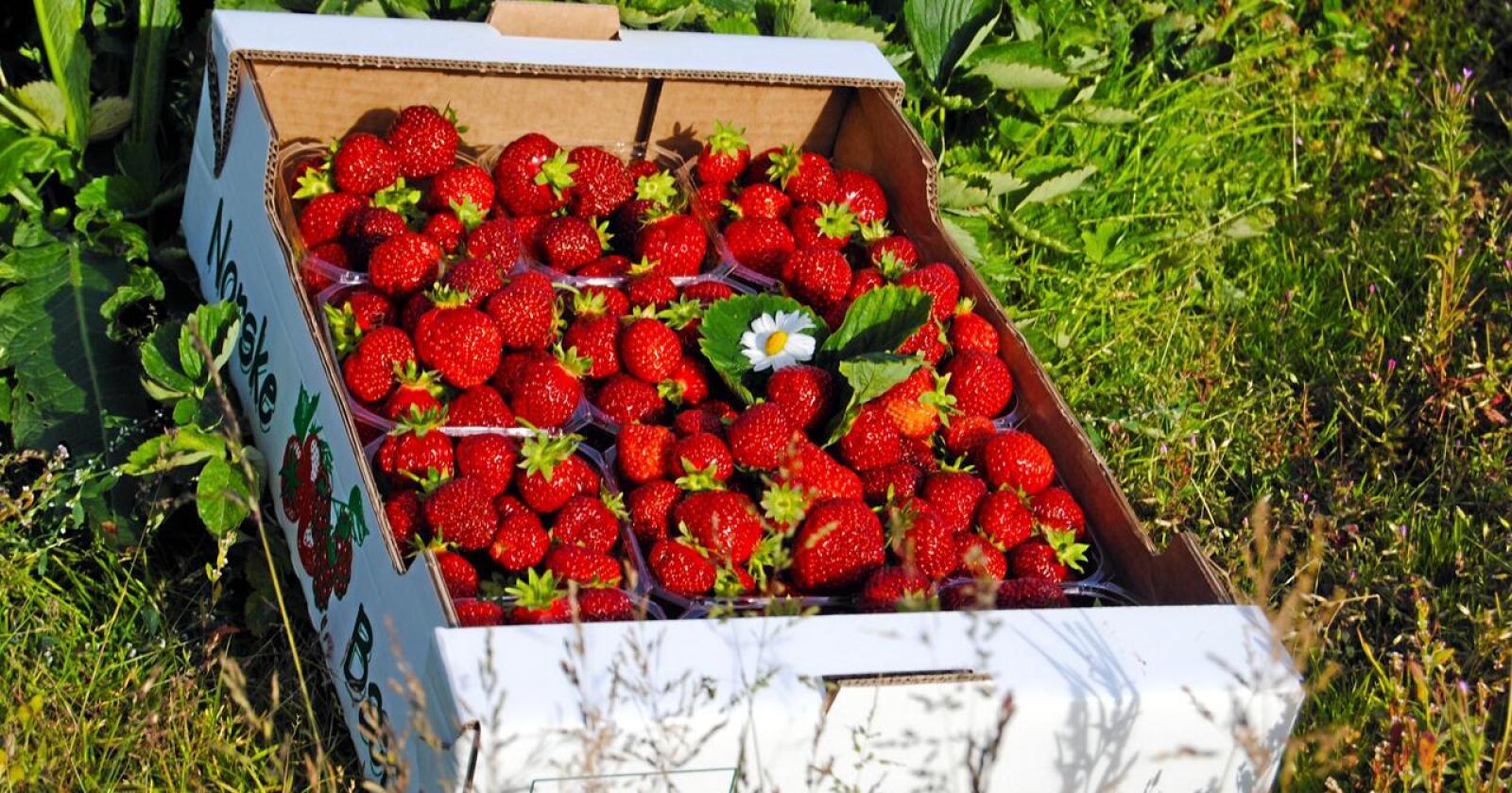 Hvorfor skal det bli «prisøkning i alle ledd», som Bama sier, når jordbærbønder får økte kostnader, fordi nordmenn plukker seinere enn utlendinger? Foto: Astrid S. Dypvik