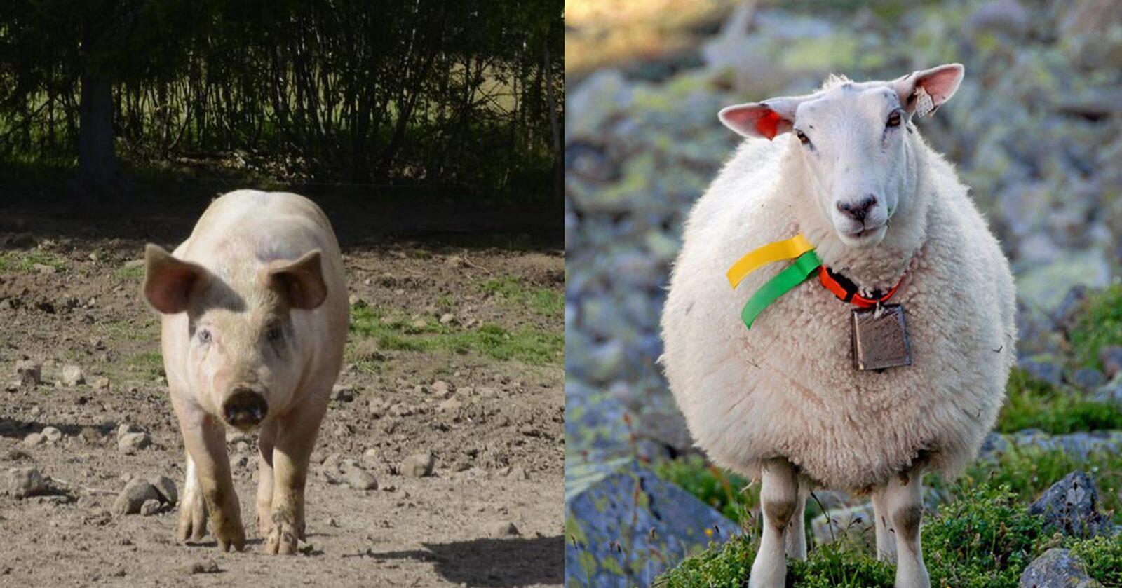 Svinebesetninger og flytting av småfe vil ha ekstra fokus i årets tilsynsrunder. Foto: Mariann Tvete og Mostphotos
