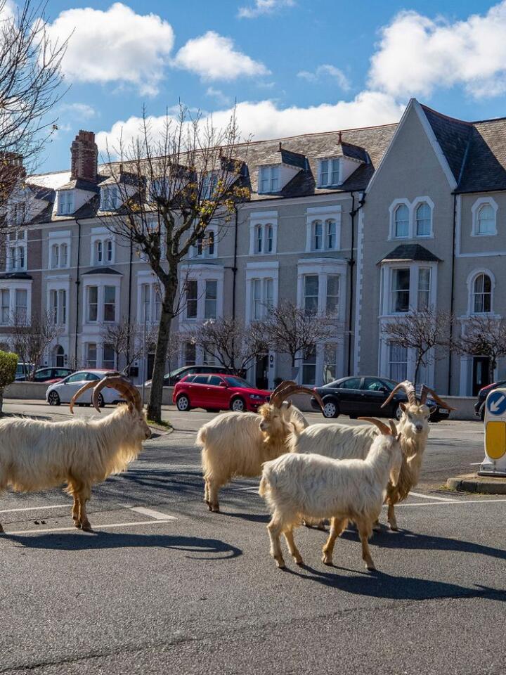 Ein flokk walisiske kasjmirgeiter har tatt over dei folketomme gatene i kystbyen Llandudno den siste veka. Foto: Scanpix/Pete Byrne/PA via AP