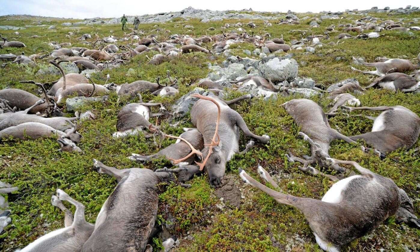 Reinsdyr døde av lynnedslag på Hardangervidda i 2016. Foto: Olav Strand / NINA