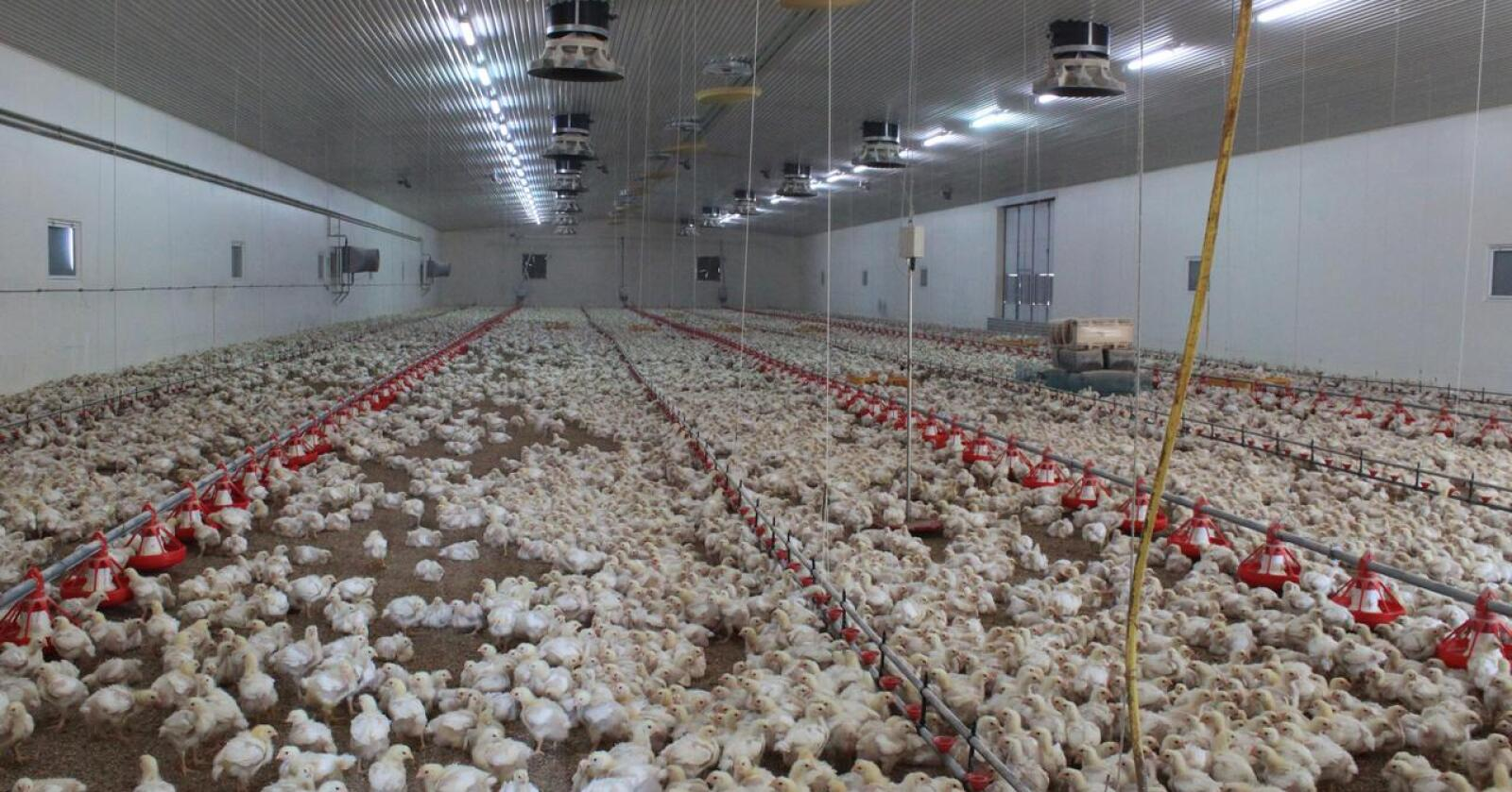 Fast food: Det tar bare 30 dager å øke kyllingproduksjonen. En ammeku ekstra trenger to år. Foto: Siri Mo