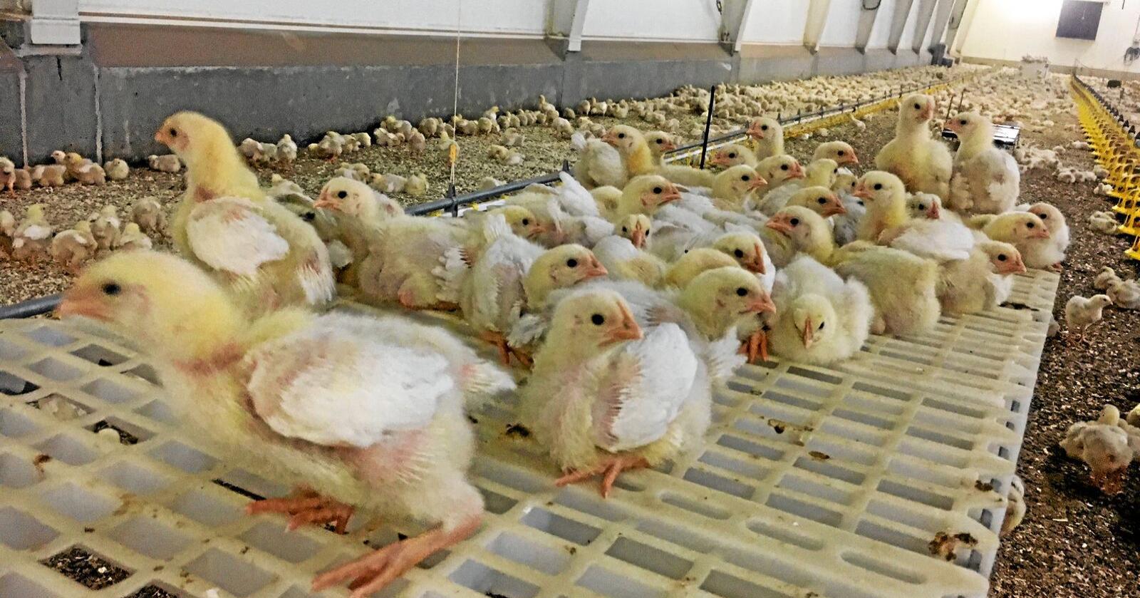 I 2018 ble kyllingrasen Hubbard introdusert. I år hyller en av Mattilsynets inspektører den nye hybriden som også produseres av hennes ektemann. Foto: Kato Nykvist/ Nationen