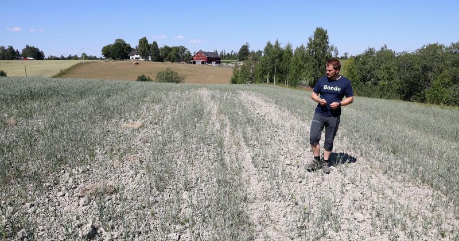 På grunn av den ekstremt tørre sommeren har mange bønder en svært redusert avling. Slik så det ut hos bonde Lars Halvor Stokstad på Kløfta i begynnelsen av juli. Han regnet da med å få halvert avlingen i år. Foto: Gorm Kallestad / NTB scanpix
