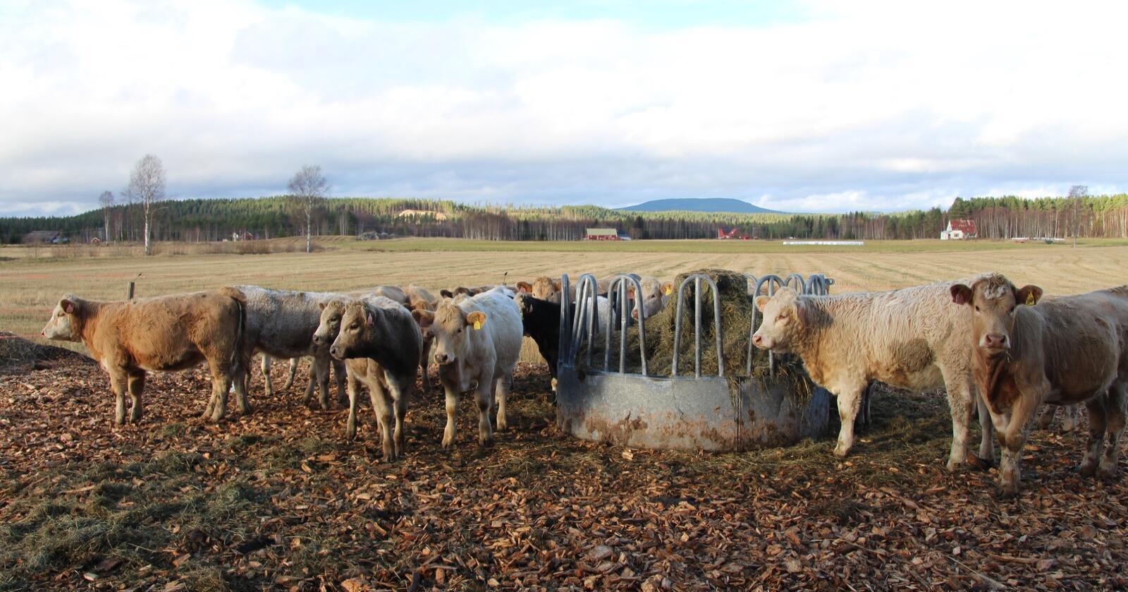 STORT BEHOV: Nortura vil redusere underdekninga av storfekjøtt, ved å legge til rette for økt produksjon på eksisterende dyr.