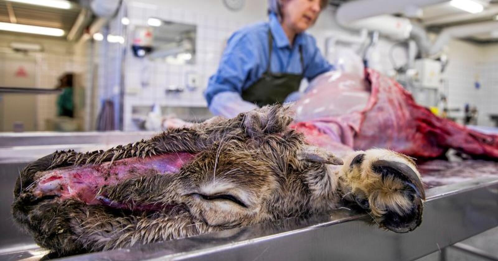 Veterinærinstituttet har testet 90.000 hjortedyr for skrantesyke siden 2016. Foto: Tore Meek / NTB scanpix