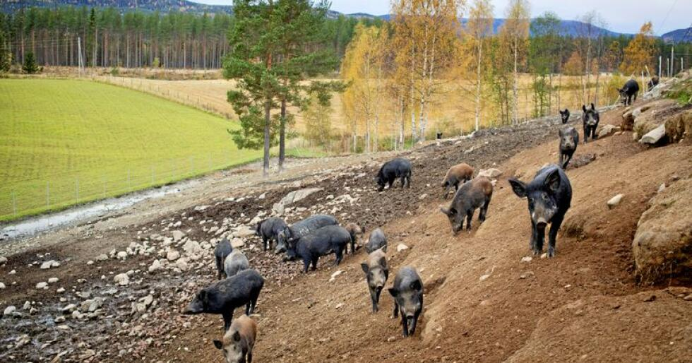 Lokale myndigheter i Lombardia vil tillate pil og bue i jakt på villsvin Illustrasjonsfoto: Kyrre Lien / NTB scanpix